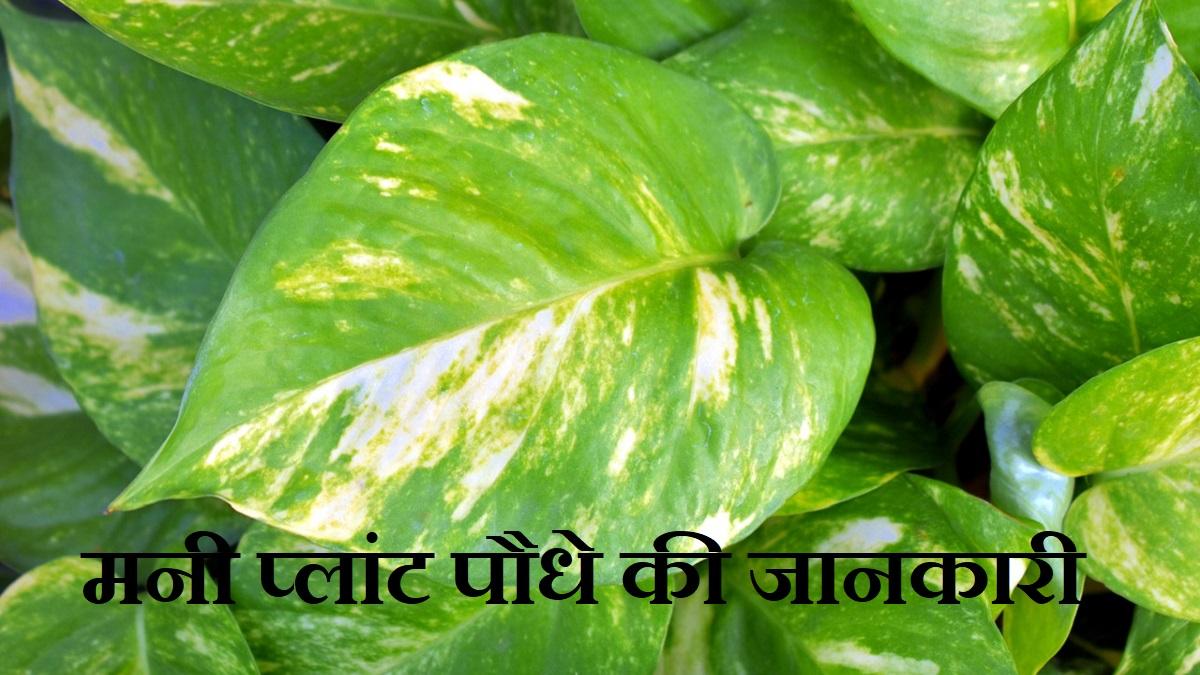Money Plant Information in Hindi