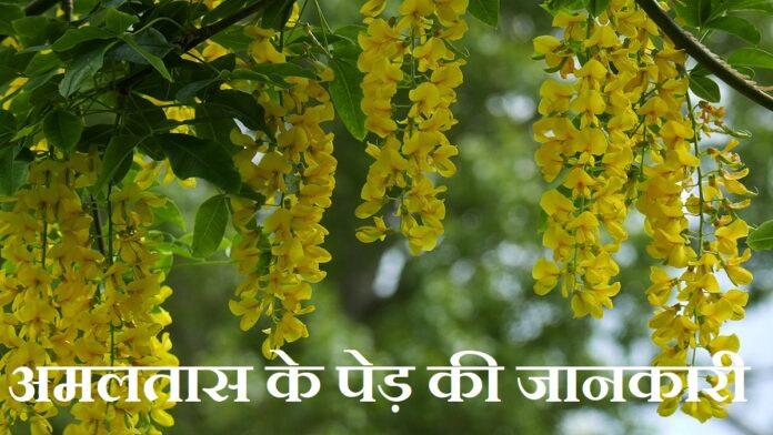 Amaltas Tree Information in Hindi