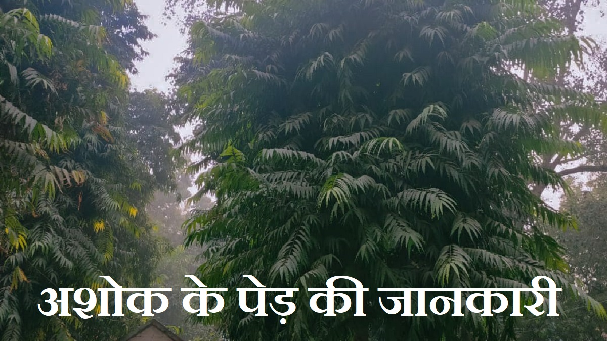 Ashoka Tree Information in Hindi