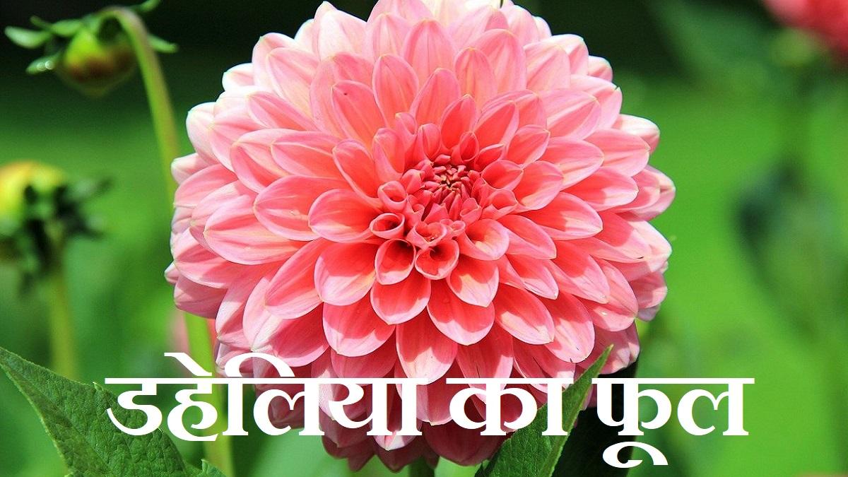 Dahlia Flower in Hindi