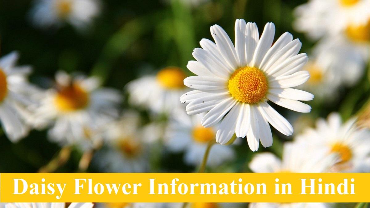 Daisy Flower Information in Hindi