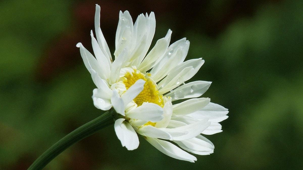 Daisy Flower in Hindi