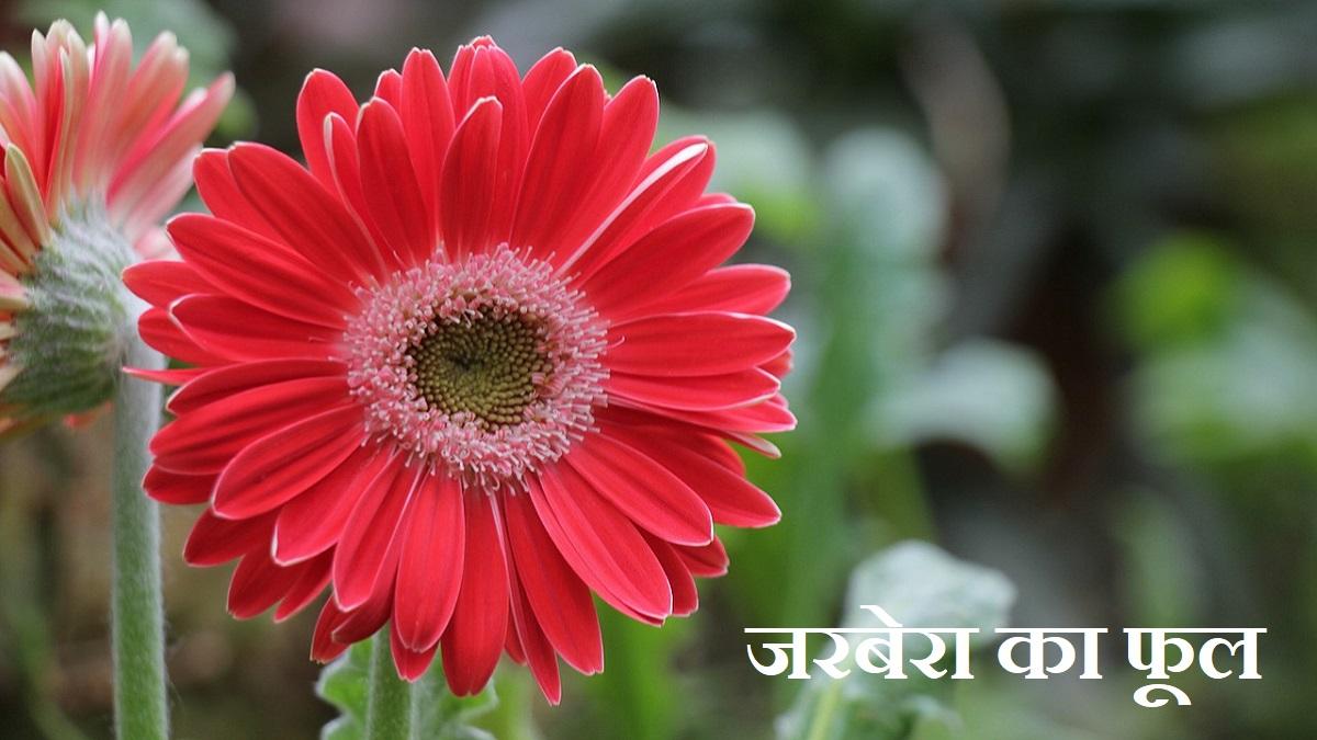 Gerbera Flower in Hindi