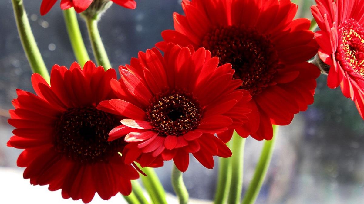 Gerbera Flower inoformation in Hindi
