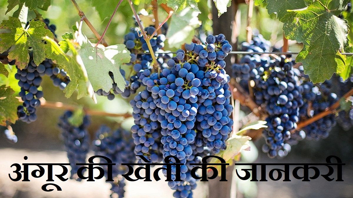 Grapes Information in Hindi