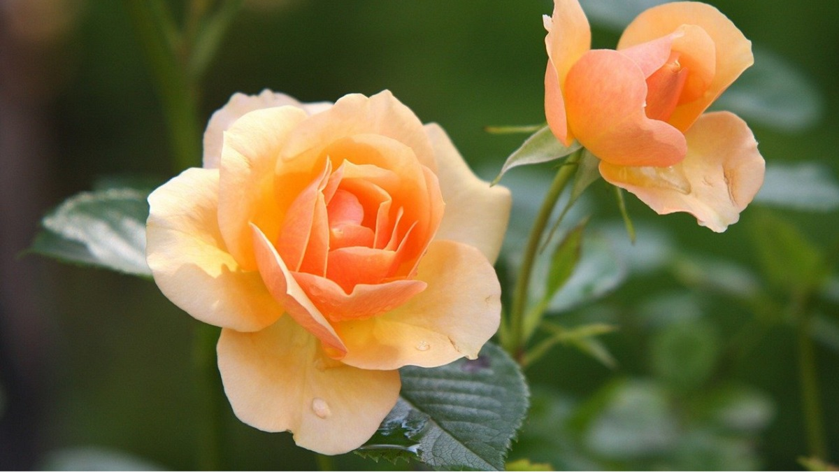 How to Care Rose Plant in Summer in Hindi