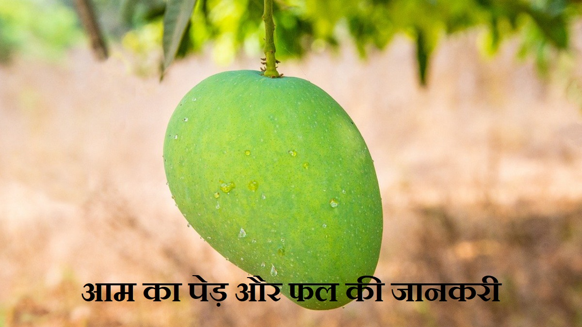 Information About Mango in Hindi