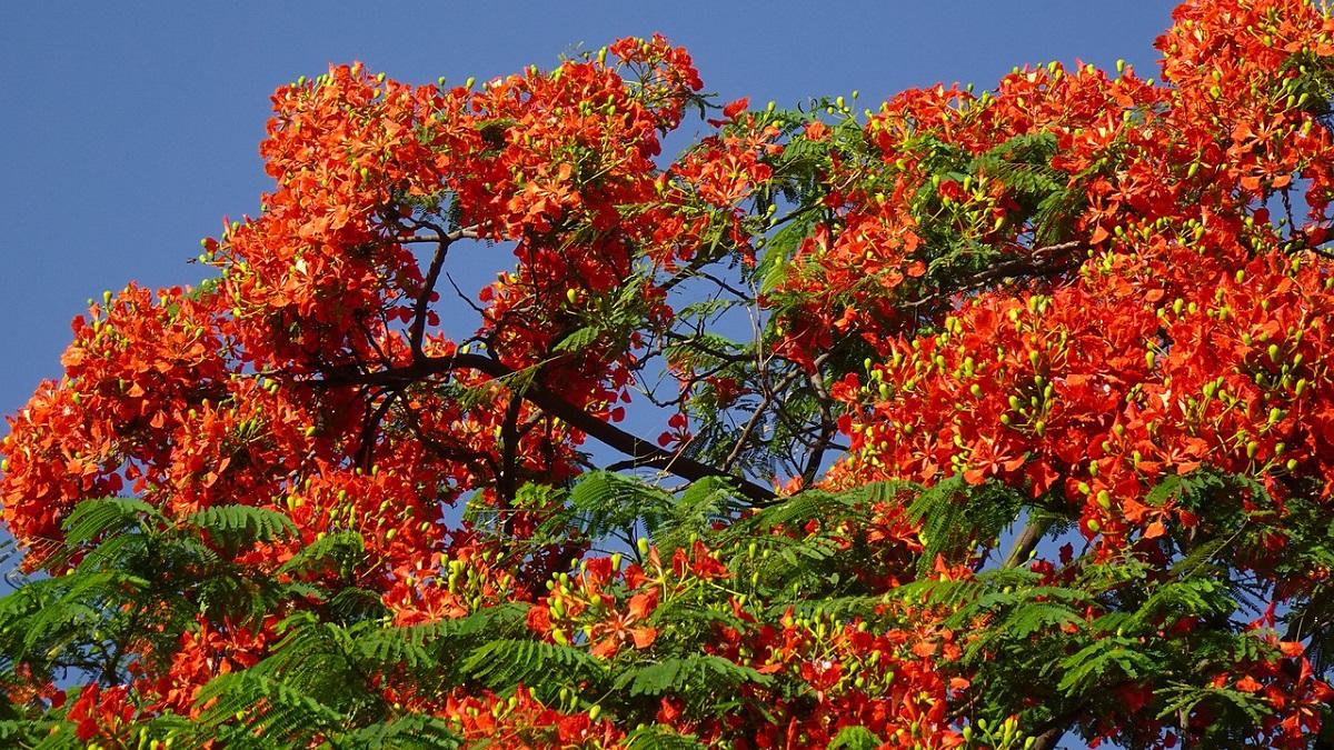 Information Gulmohar Tree in Hindi
