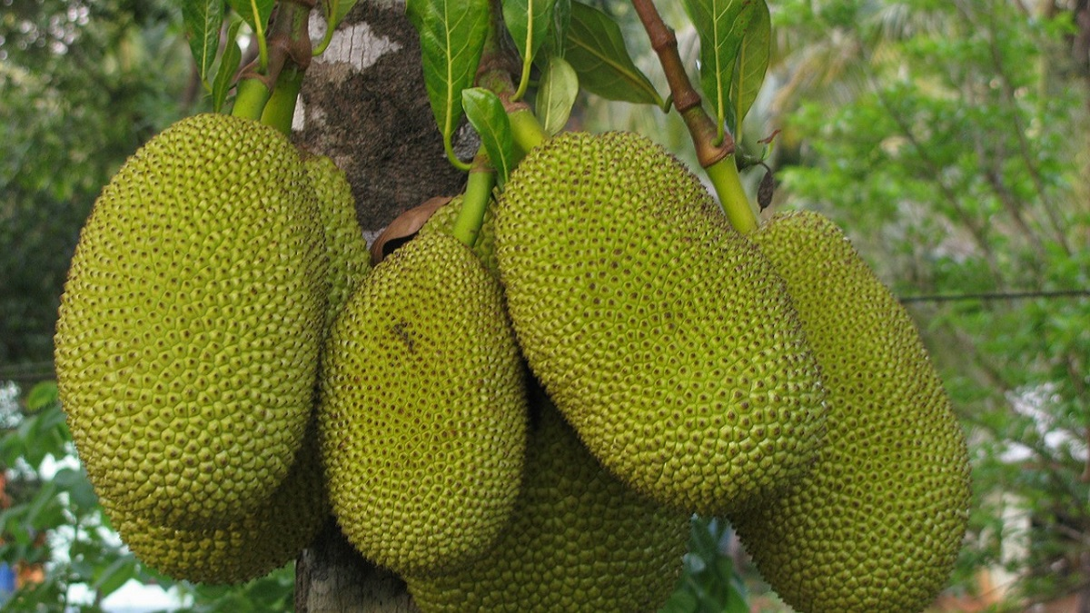 Jackfruit information in Hindi 01