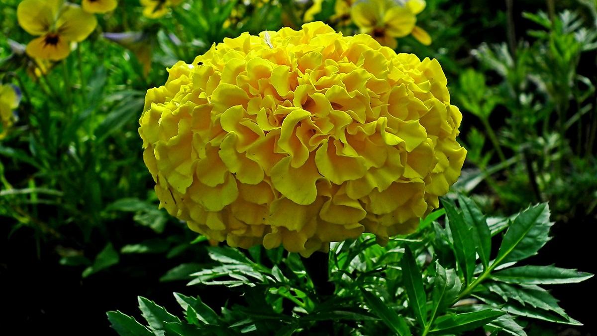 Marigold Flower In Hindi