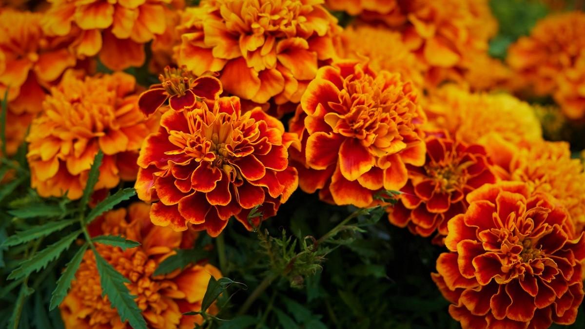 Marigold Flower Information In Hindi