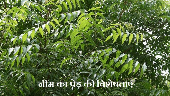 Neem Tree Information In Hindi