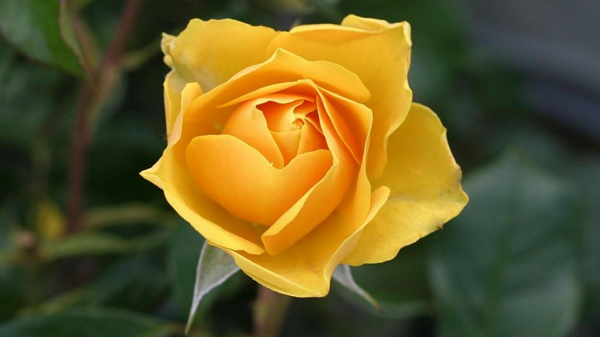 Rose Flower Information in Hindi
