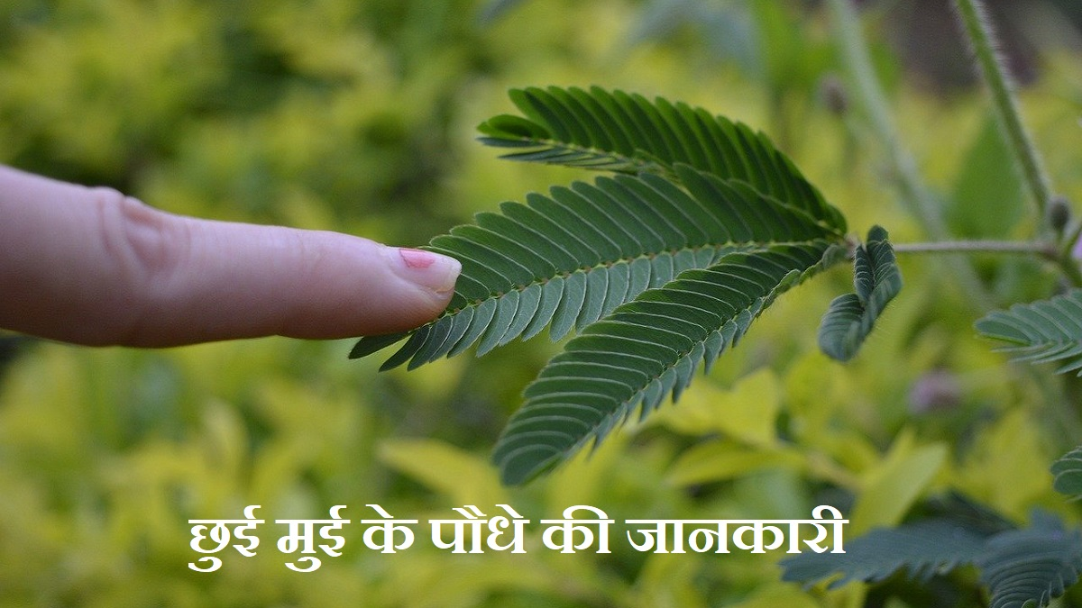 Touch me not plant information in hindi