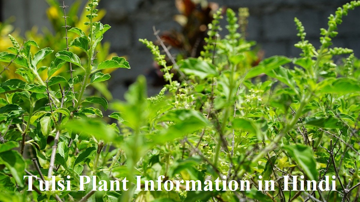 Tulsi Plant Information in Hindi