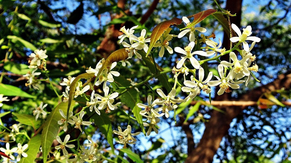 about neem tree in hindi in points