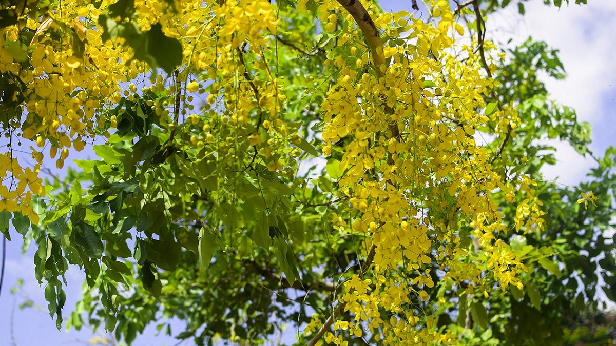 amaltas plant uses in hindi