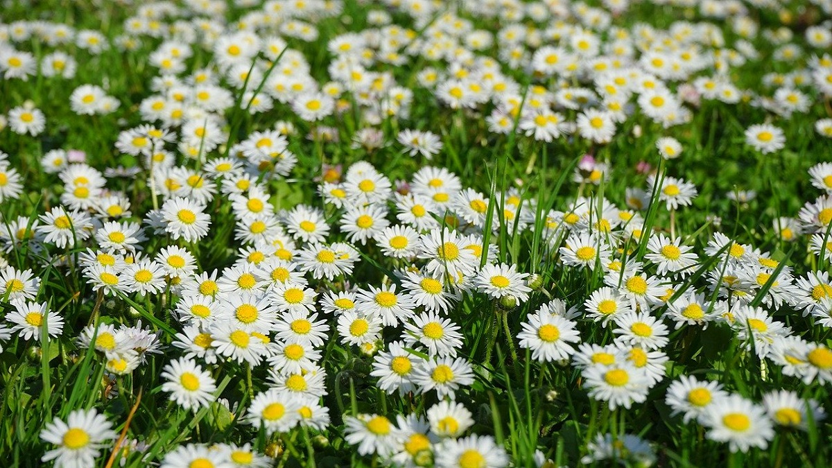 information about daisy flower in hindi