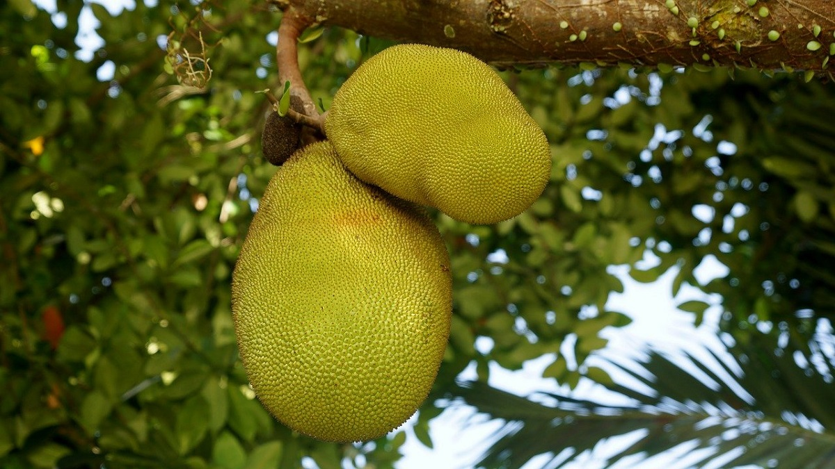 jackfruit in hindi