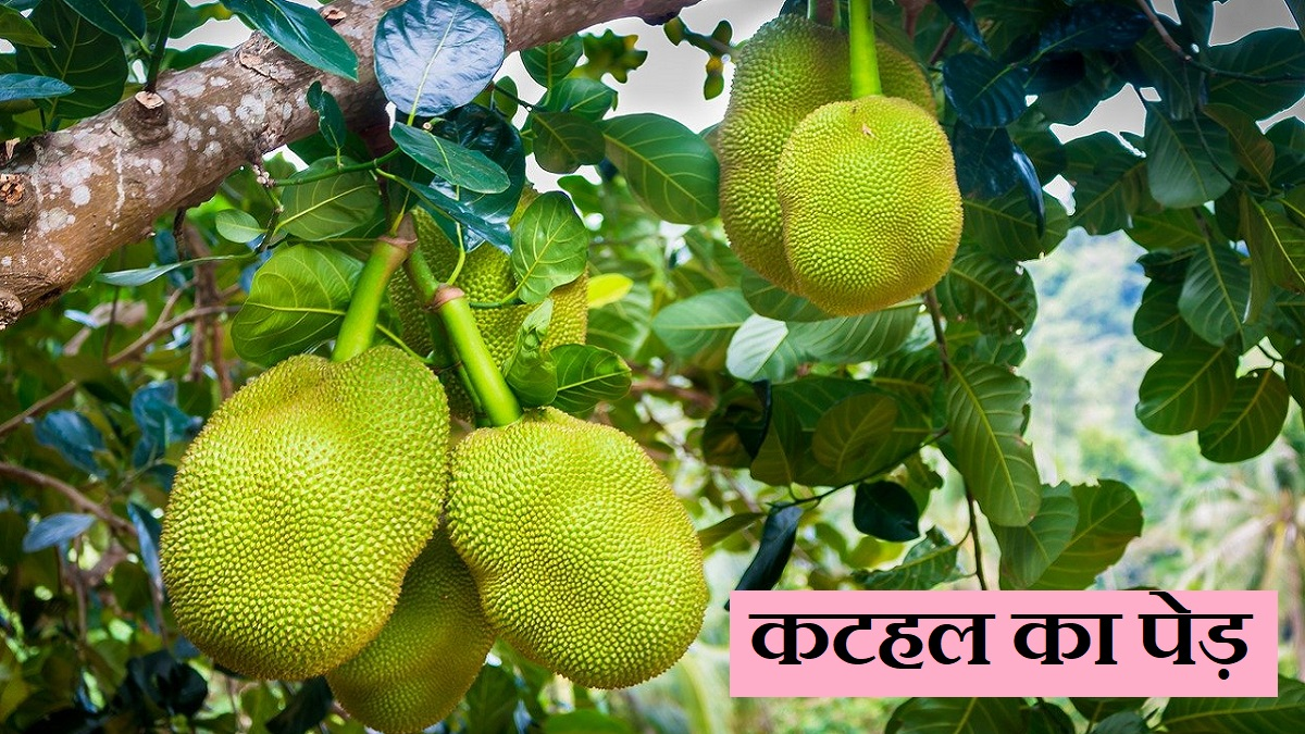 jackfruit information in hindi