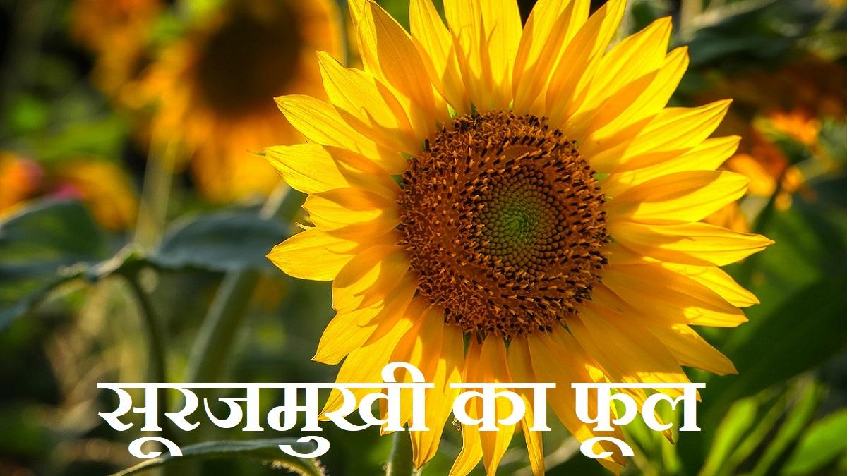 sunflower information in hindi