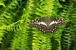 Butterfly Fern