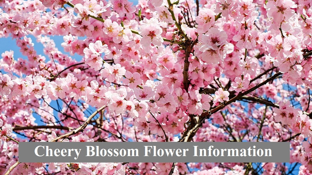 Cheery Blossom Flower Information in hindi