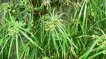Cyperus Grass Plant