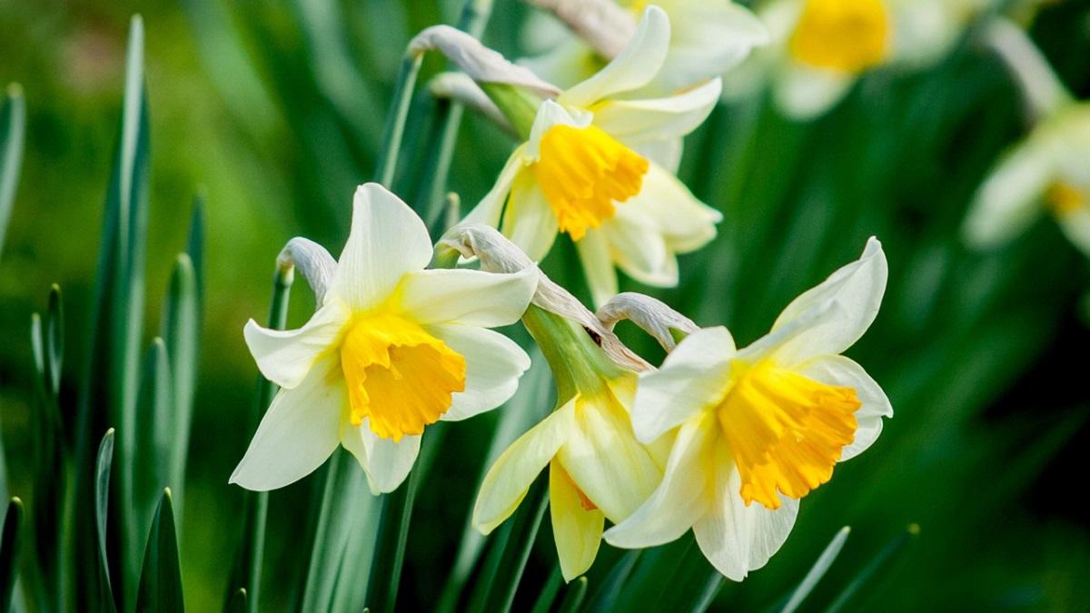 Daffodil Flower in Hindi