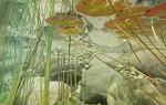 Drawf Aquarium Lilly