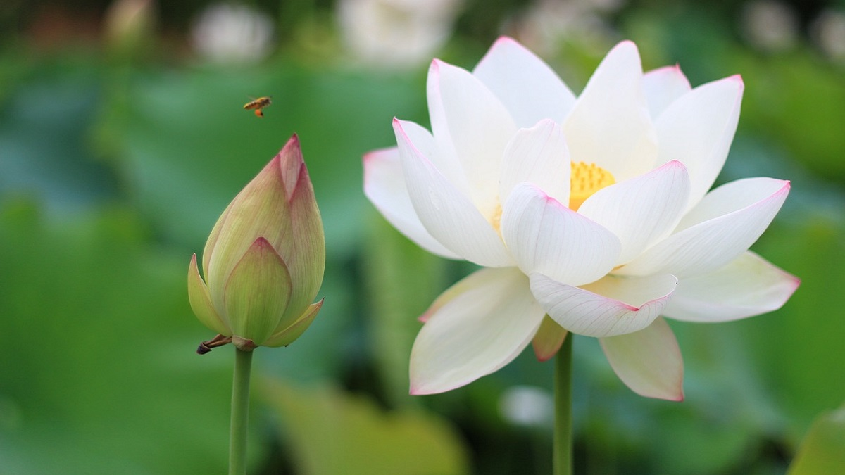 How to grow lotus plant in hindi