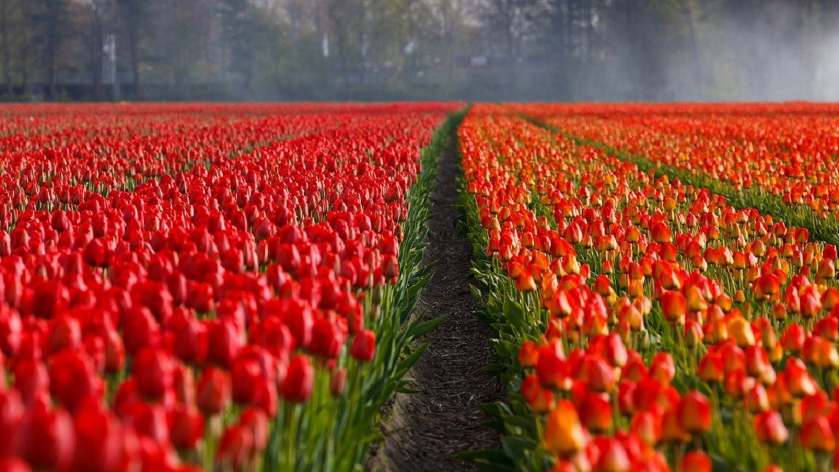 Information About tulip flower in hindi