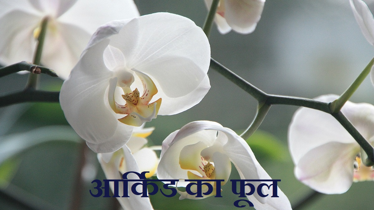 Orchid Flower Meaning in Hindi