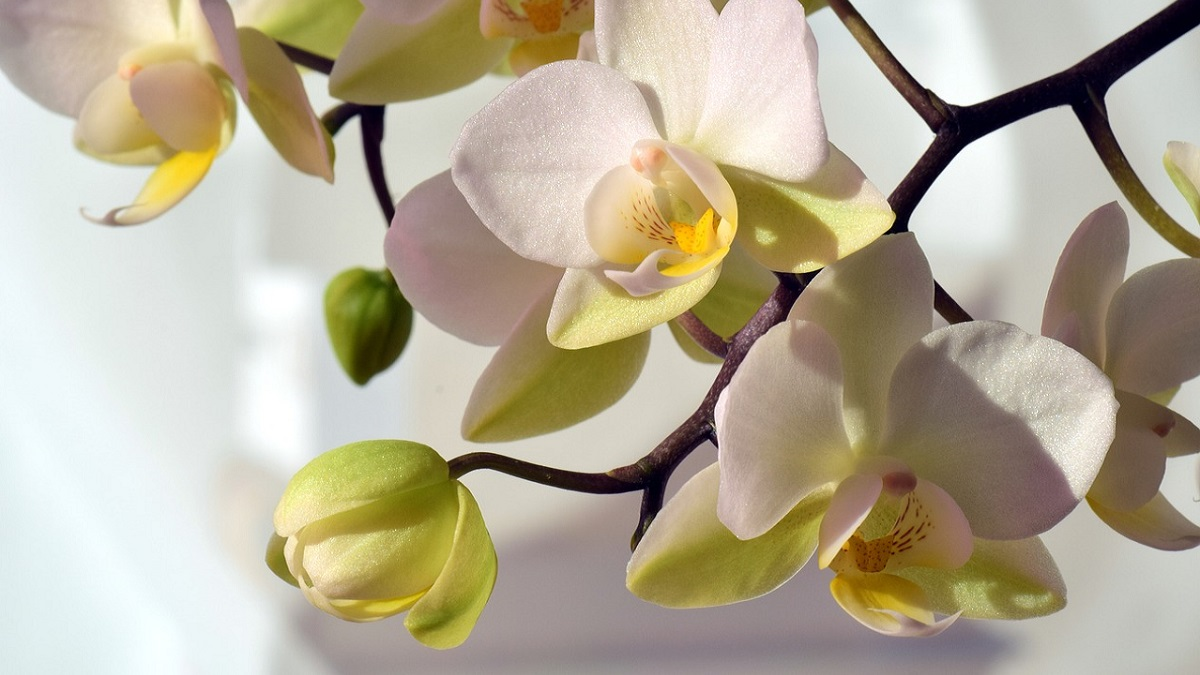 Orchid Flower information in hindi