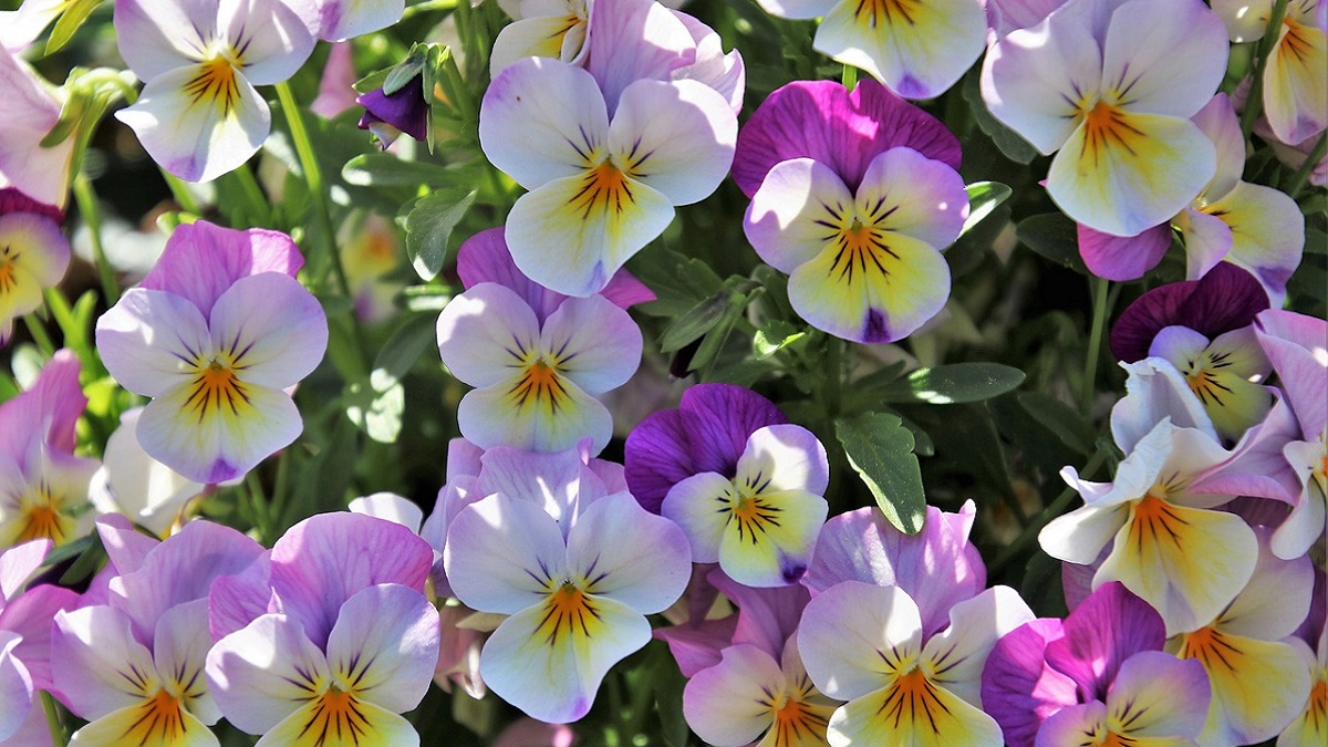 Pansy Flower Meaning in Hindi