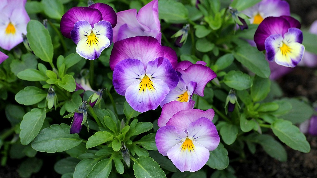 Pansy Flower in Hindi