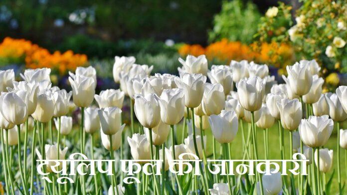 tulip flower information in hindi