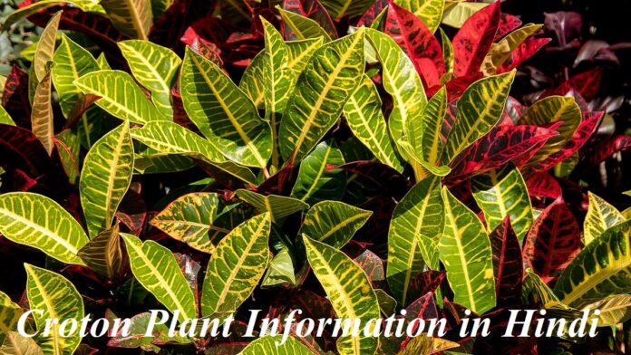Croton Plant Information in Hindi