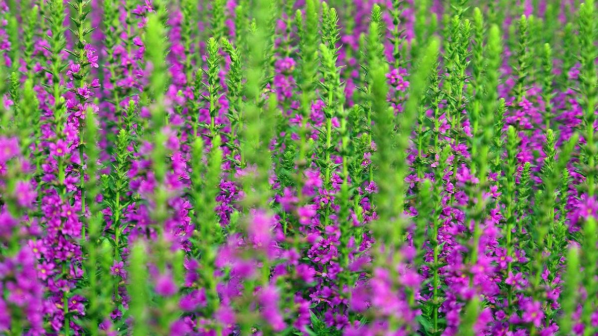 Lavender Flower Information In Hindi
