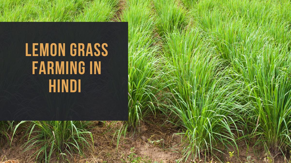 Lemon Grass Farming in Hindi