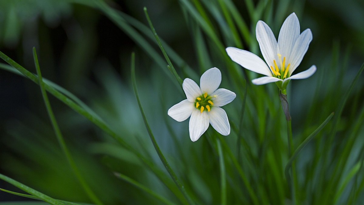 Rain Lily Flower