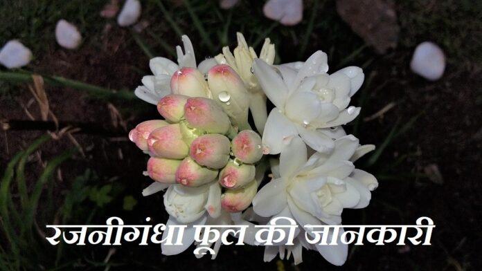 Tuberose Flower Information in Hindi