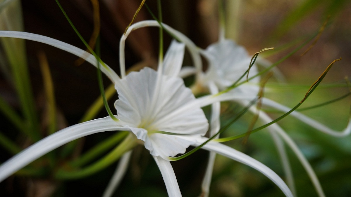 White Flowers Names in Hindi
