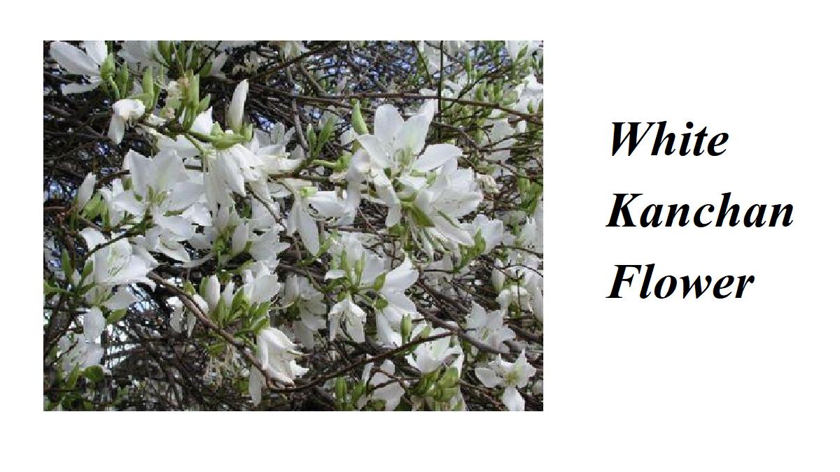 White Kanchan Flower