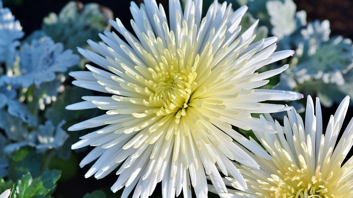 Aster Flower Information in Hindi