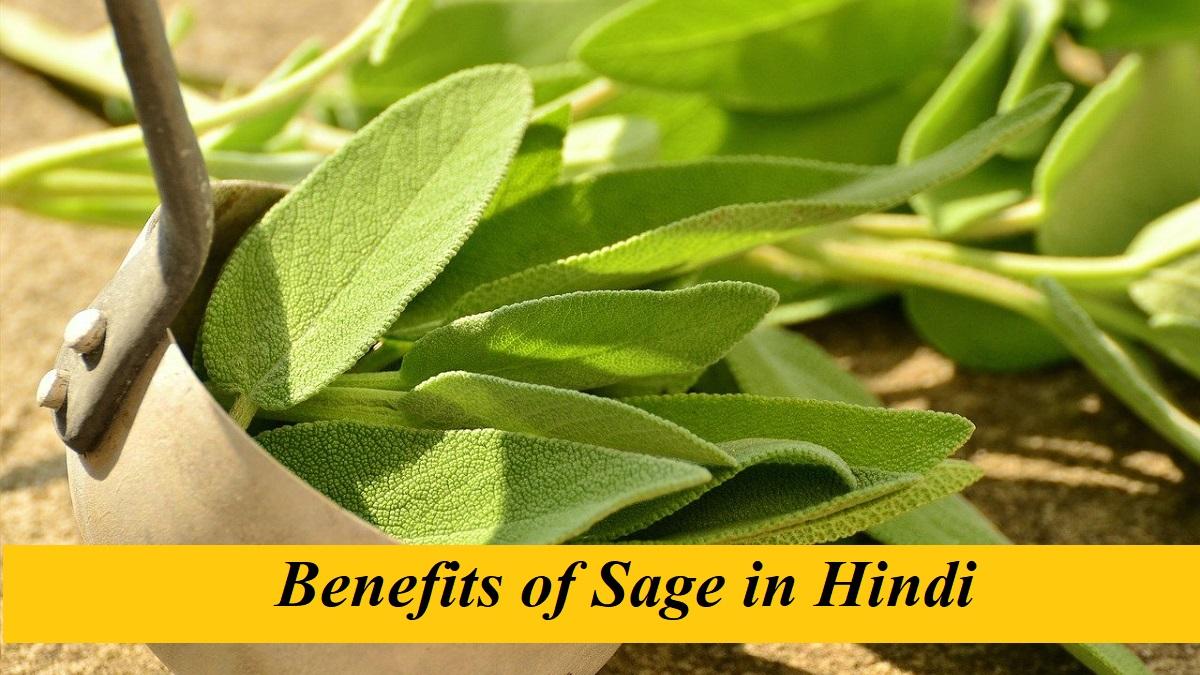 Benefits of Sage in Hindi