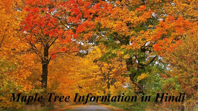 Maple Tree Information in Hindi