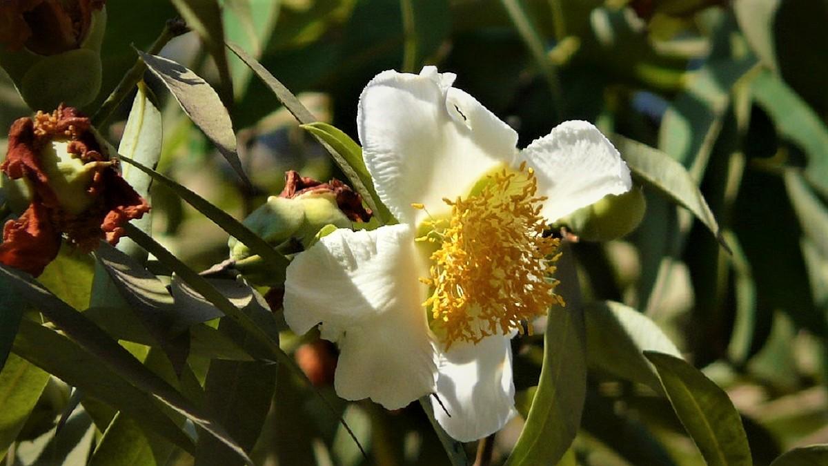 Nagkesar Flower Plant in Hindi