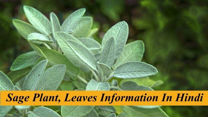Sage Plant in HIndi