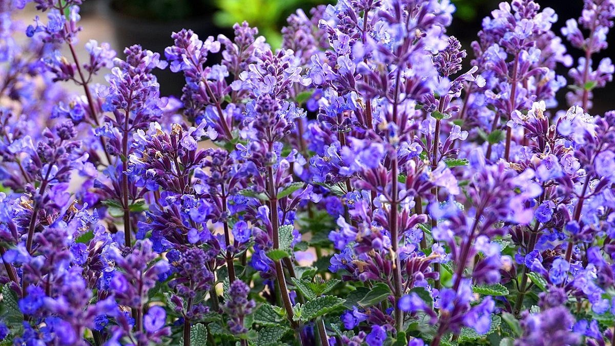 Types of Sage Plant in Hindi